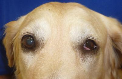 Horner Syndrom Hund